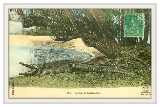 Cá sấu Nam Bộ