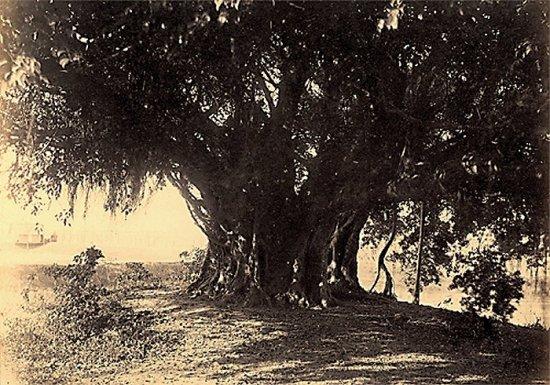 023.Cây Bồ-Ðề hay cây Ða?