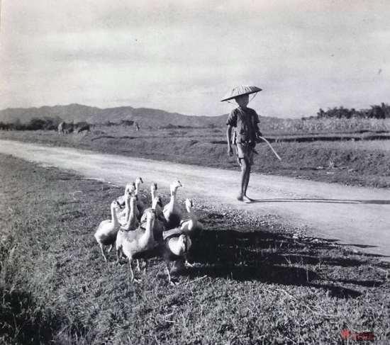 Cậu bé chăn ngỗng, miền Bắc Việt Nam.