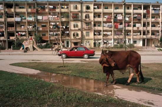 Bò chạy rông trên bờ hồ Giảng Võ, phía trước nhà B1 của khu tập thể Giảng Võ, Hà Nội.