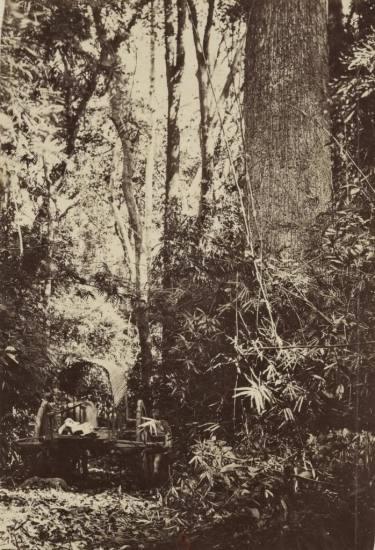 Xe bò trong rừng cây dầu, Nam Kỳ .