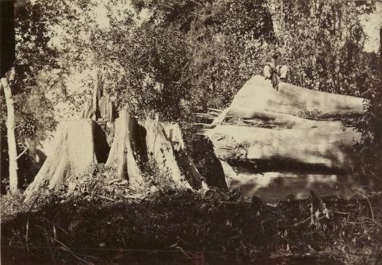 Thân cây bằng lăng cổ thụ bị đốn hạ ở rừng Phước Linh.