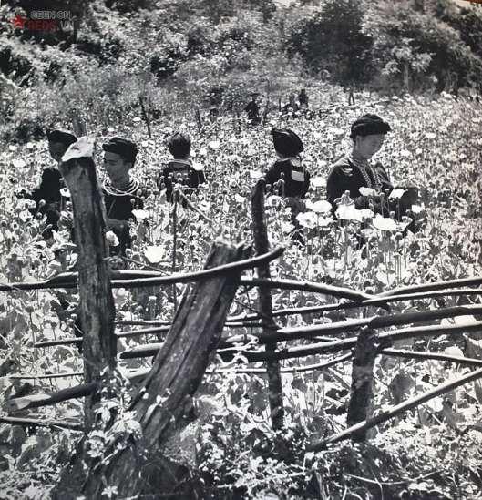 Phụ nữ H'Mông trên một cánh đồng thuốc phiện. Nghề trồng và chế biến thuốc phiện đem lại cho họ các khoản tiền mặt lớn cũng như nhiều thứ hàng hoá của miền xuôi.
