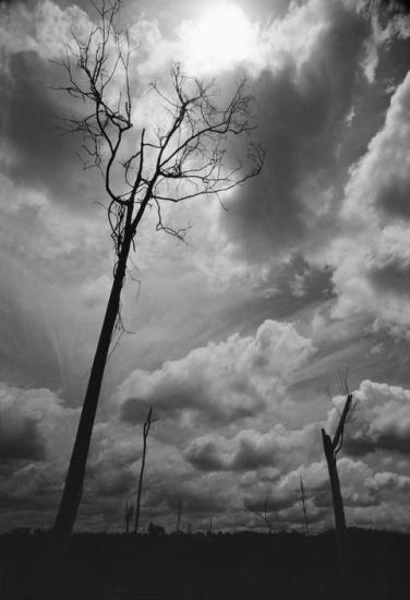 Những thân cây trơ trụi ở Tây Ninh, gần biên giới Campuchia.