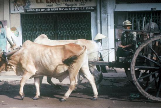Xe bò kéo trên đường Hai Bà Trưng.