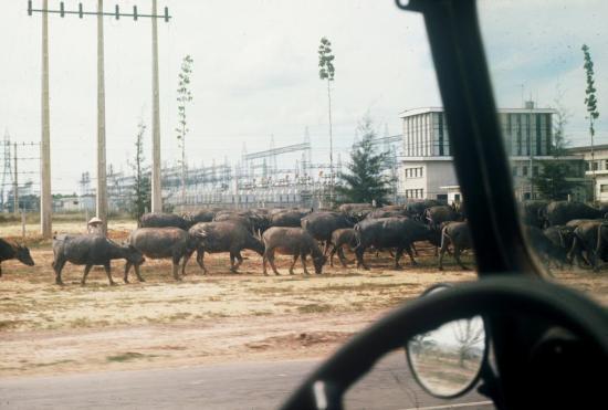 Một đàn trâu trên xa lộ Biên Hòa.