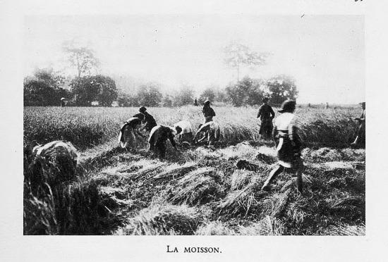 Gặt lúa trên một cánh đồng.