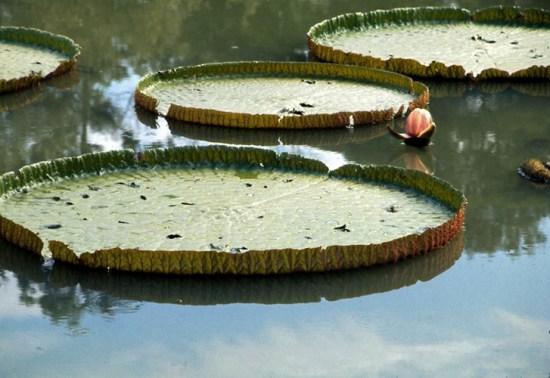 Cây sen thúng khổng lồ được trồng ở hồ.