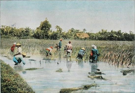 Những người nông dân gặt lúa trên đồng.