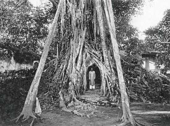 Cây đa thiêng ở Cổ Loa, tỉnh Phúc Yên cũ năm 1924.